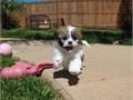 Puppys name LondonBreed MalteseShih TzuAge 10 weeks oldRegistry NA