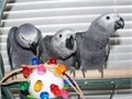SWEET AND LOVELY AFRICAN GREY PARROTS FOR SALE All the parrots will be sold with a hatch certificate