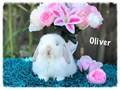 Gorgeous 8-10 week old Holland lop bunnies We handle these bunnies every day so they are used to be