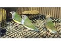 5 pairs of young coloring up gouldians15 Gouldian in total available to buy as pairs or singles