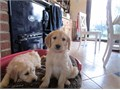 We have two beautiful Male And female golden retriever puppies available They are both smooth coate