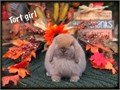 8-10 week old Holland lop baby bunnies very friendly they are a dwarf breed only weighing 3-4 lbs