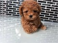 MALTIPOO PUPPY FOR SALE CUTE MALTIPOOS PUPPIES FOR SALE AVAILABLE NOW shots and dewormed  tiny to