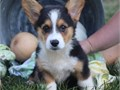 Cute Pembroke welsh corgi puppies ready Our puppies are very sweet and charming