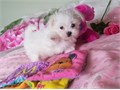 maltese puppies for sale These beautiful puppies are family raised and are very friendly They lo