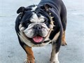 Akc Black tri english bulldog for stud service his service will include 2 artificial inseminations f