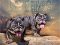 BANKS IS A MICRO ENGLISH BULLDOG 9 MONTHS OF AGE NICE STACKED PEDIGREE PERFECT SINGLE ROPE FOR INFO
