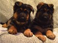 German Shepherd PuppiesBright German shepherd puppies ready The puppies have been raised in a v