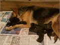 German Shepherd Puppies for sale Will be ready Feb 24th Great Valentines Day gifts Will have f
