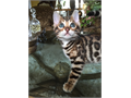 Asian Leopard Bengal kittens with Gorgeous show and vivid markings tica reg 1550 to 2400 what is