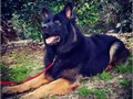 Male AKC GSD available for stud Kevlar is 5 years old and is from DDR and american showlines He ha