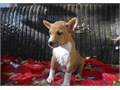 Nice Basenji Puppies For SaleThey are very friendly with other pets and children Ready to go Email