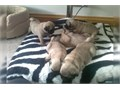 Puppies have been born and raised in the home used to handling from day one We