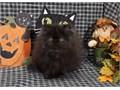 A Show Quality Long Haired Persian Kitten 4 Sweet Loving Pet ready now  He is a stunning Black Neu