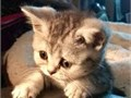British Shorthair Kittens For SaleThis stunning baby boys and girls is as sweet as he looks th