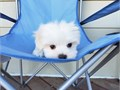 Maltese Male Female 714 5 1 9-6657 Born 616Up to date and shots and deworming Health Recor