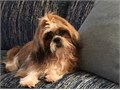 Shih Tzu Male  30000 9mos Happy is self entertaining  amusing hes crazy