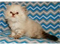 Excellent TICA Registered Persian kittens are ready to find a new home Mom and Dad are both very go