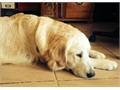 AKC Golden Retriever Stud Not for sale English cream lines descended from champions 80 lbs OFA