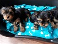 Adorable Yorkie puppies looking for a great forever home male and female they are very Loving fri