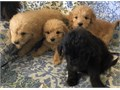 Goldendoodles F1 8 weeks old Utd on Vaccines Ready Now Will be 4555 Pounds  70000 423-754-2863