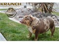 Krunch is a amazing chocolate tri merle blue carrier quality  stud he is very compact great structur
