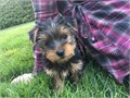 Very ADORABLE and LOVABLE Male And Female Yorkie puppies they are the most playful puppies that w