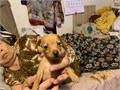 Min pincher six week old male fawn color two puppy  Very tiny and playful