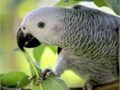-African Grey- We Ship Safely Nationwide We use a patented safety travel box thats climate control