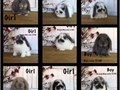 I have available super cute purebred Holland Lop baby bunnies Holland Lops are a dwarf breed of ra