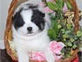 Beautiful white pomski puppy  Short legs and all fur very sweet and loving looking for a family to