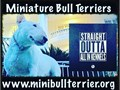 TOP QUALITY Miniature Bull Terriers for SaleStarting at 2500 eachwwwMiniBullTerrierOrg or