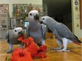 3 African Grey parrots  we still have the male and female available now for good family home