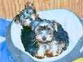 YORKIE PUPPIES  PUPPY FOR SALE YOU WILL FALL IN LOVE  shots and dewormed serious inquires only tel