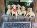 Hello I have 3 golden retriever males 9 weeks old they will be given with first set of shot they are