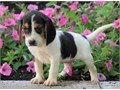 Creative Beagle puppies ready Our puppies are very sweet and charmingcontact a