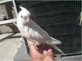 9 weeks old Baby Albino cockatiel handfed supper Tame very healthy know to step up asking for