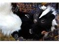male and female skunk for saleThey just got their license up till date and are now ready to meet th
