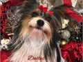 Yorkie Stud Service I have a ProvenAKC Parti Yorkie Crownridge Lines Throws gorgeous babiesnice