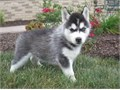 so adorrable 12 weeks old siberian husky by name kiki she is very lovely good with kid has no health