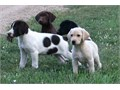 Excellent line of Hybrid Retriever puppiesOur dogs are very smarteasy to train  they love people