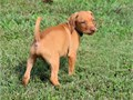 Vizsla Pups ReadyText me on   813-586-0441 or E mail on paulhulk789gmailcom