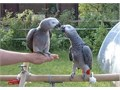 QZ African Grey Parrots ready now we still have the male and female available now for good family h
