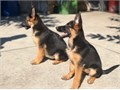 I Have puppys  5   Females 10  weeks old has 2 shots and has been dewormed as wellThey also have t
