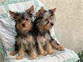 AKC male Yorkshire Terrier puppies starting at 800 Raised by a loving home breeder with 15 years e
