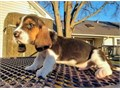 Radiant Basset Hound puppieslove playing and runningcontact at 404-939-5204 fo