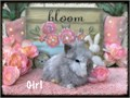 Eight week old Lionhead Bunnies  Very friendly and sweet Text only No emails Maggie 714 420 5084
