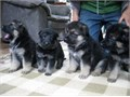 German Shepherd puppies  Since you have found your way here to our ad you obviously are ready to a
