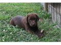 Beautiful Chocolate Lab puppies  Champion bloodlines Current on all vaccinations Dewormed Vet ch