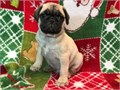 AKC Fawn Pug Male Raised in our home with our 2 kids The puppy comes with full AKC registration 1